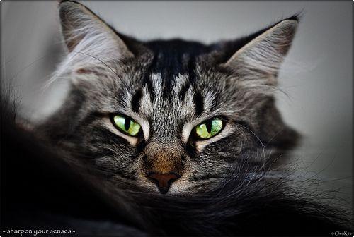 El oído de los gatos