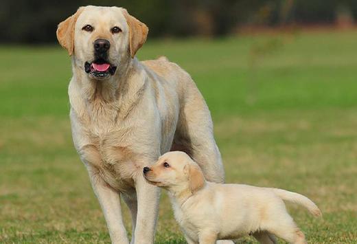 Labrador Retriever perros grandes