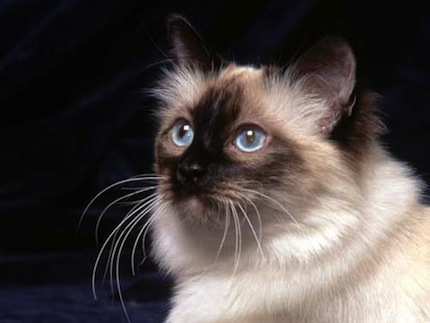Razas de gatos ideales para ninos 2 Razas de gatos ideales para niños