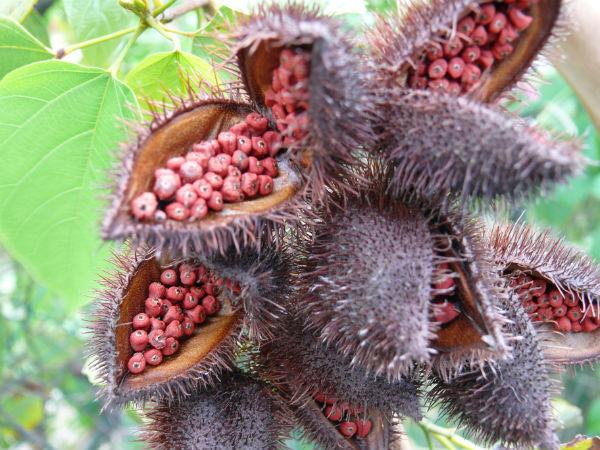 Bixa orellana plantas medicinales mexicanas