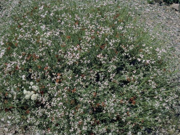 Parthenium argentatum plantas medicinales mexicanas