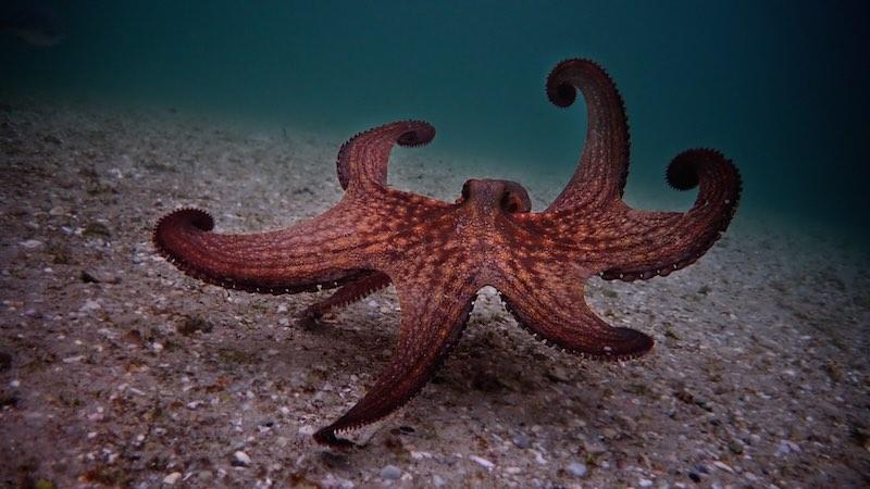 My Octopus Teacher_octous walking_Craig Foster_ph Netflix