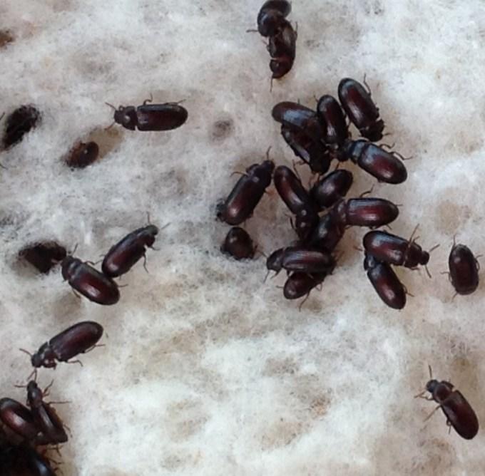 Semut Jepang