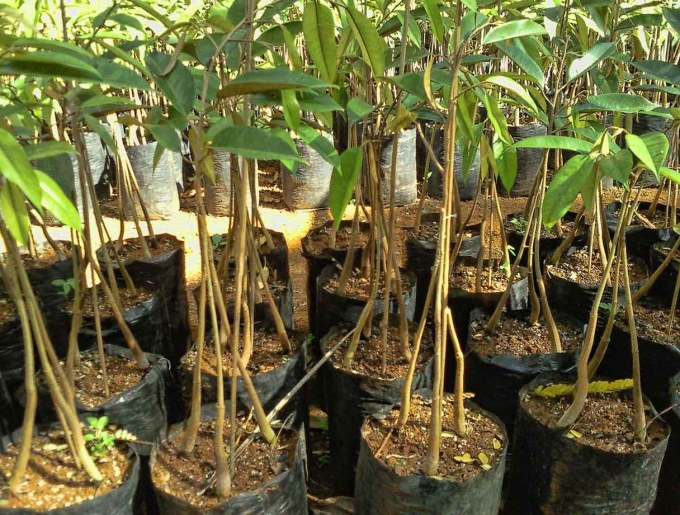 Bibit durian bawor tiga kaki