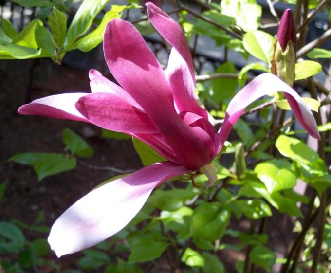 Bunga Cempaka Ungu