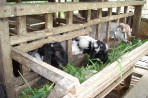 Usaha ternak kambing agar cepat gemuk