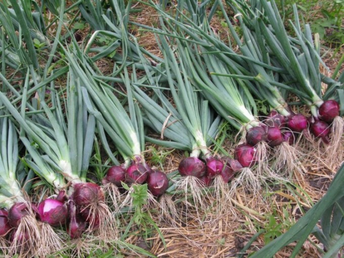 Cara menanam bawang merah yang benar