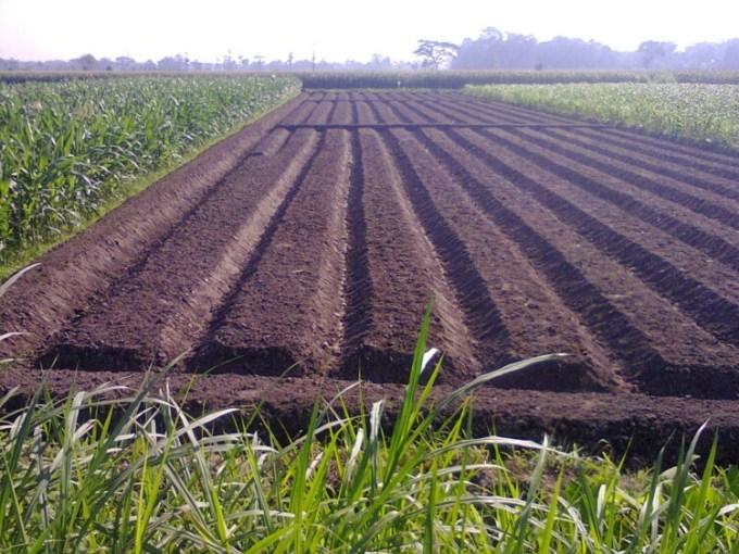Pengolahan tanah untuk budidaya bawang merah