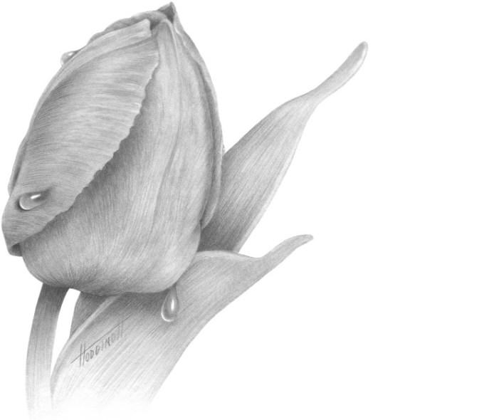 sketsa tulip kuncup
