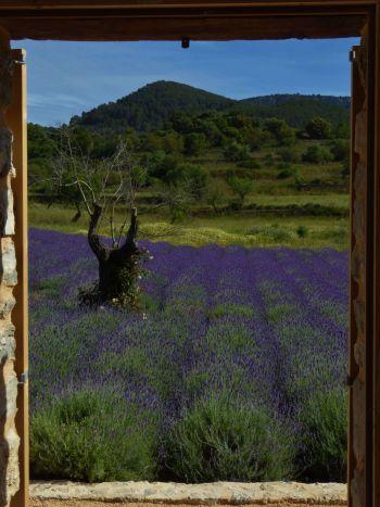Lavender-fields-with-a-view-Mashamba-garden-design