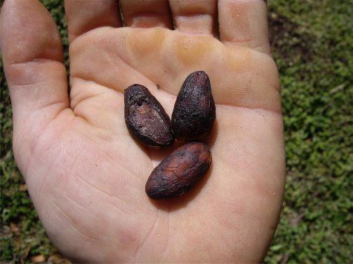 15 Semillas de cacao