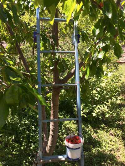 17 Cosechando las primeras cerezas