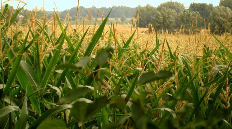 Estiman condiciones muy buenas en los cultivos de maíz en áreas de la Bolsa de Bahía Blanca