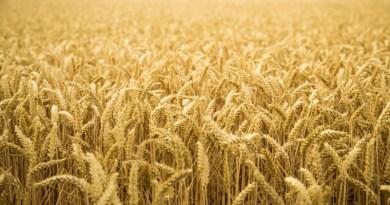 Proyectan una reducción del área sembrada de cebada