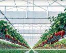 Inauguraron el invernadero sustentable más grande del país para exportar frutillas