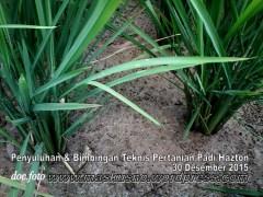 Penyuluhan dan bimbingan tehnis padi hazton (9)