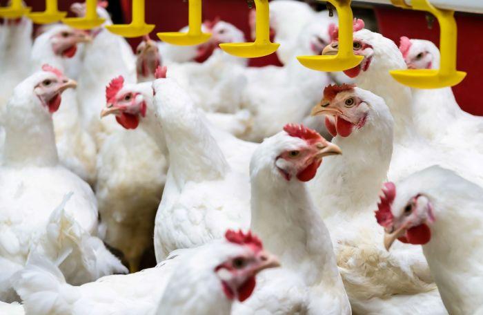 La industria avicola espera que los efectos del COVID 19 continuen