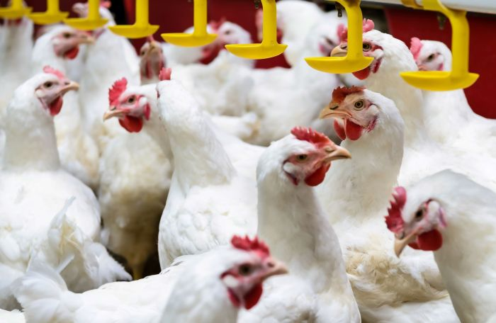 Survey: Poultry industry expects COVID-19 effects to last