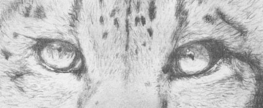 Leopard Eyes Rough