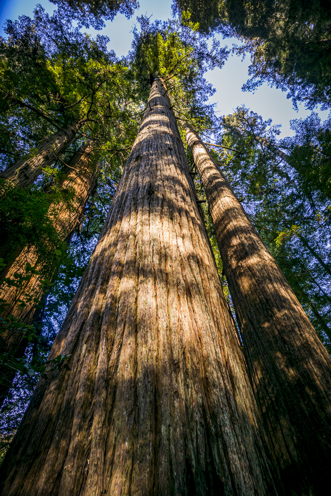 Giant redwood trees fill the frame on Vancouver Island