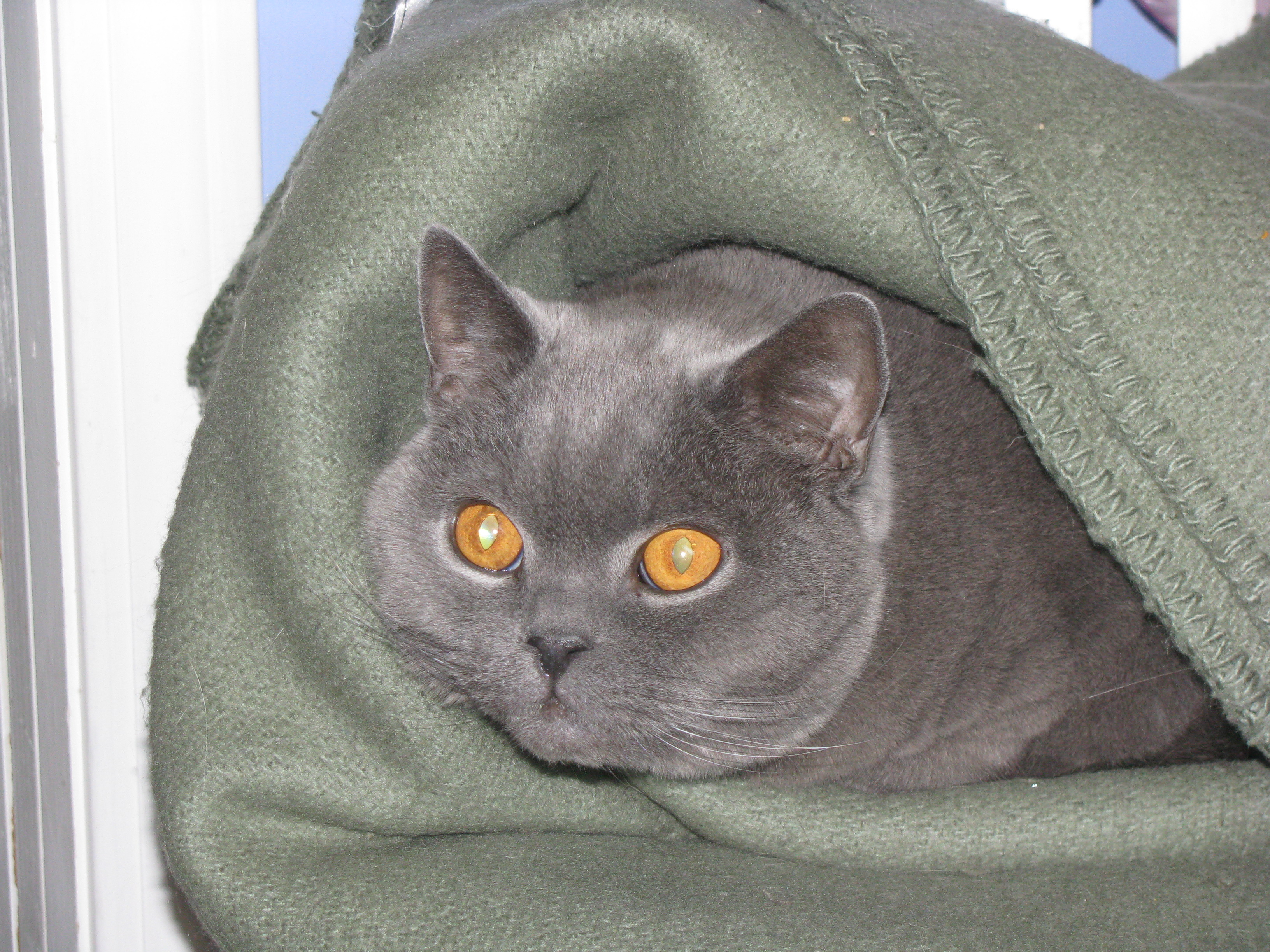 This shows his scary eyes really well, even though he cuddled up in a blanket.