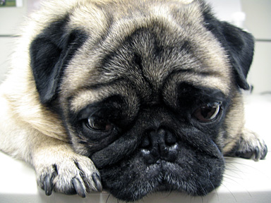 This is the face of a pug(a beautiful one) waiting. Kind of gets to you, doesn't it?