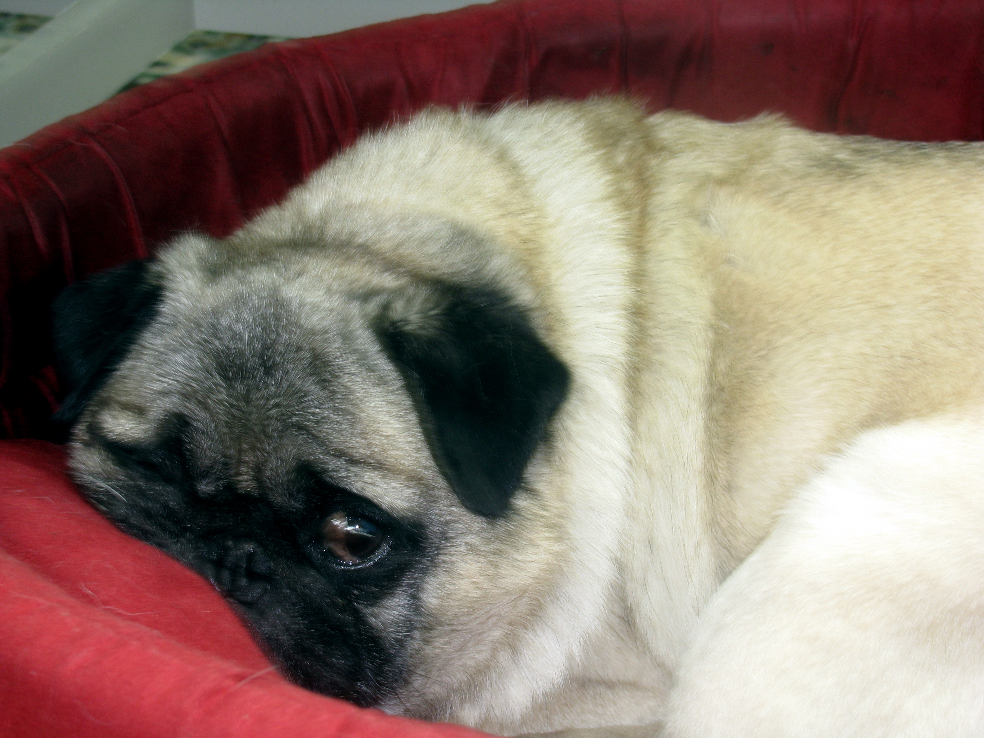 A portrait of a pug in pain as he struggles to escape into sleep.