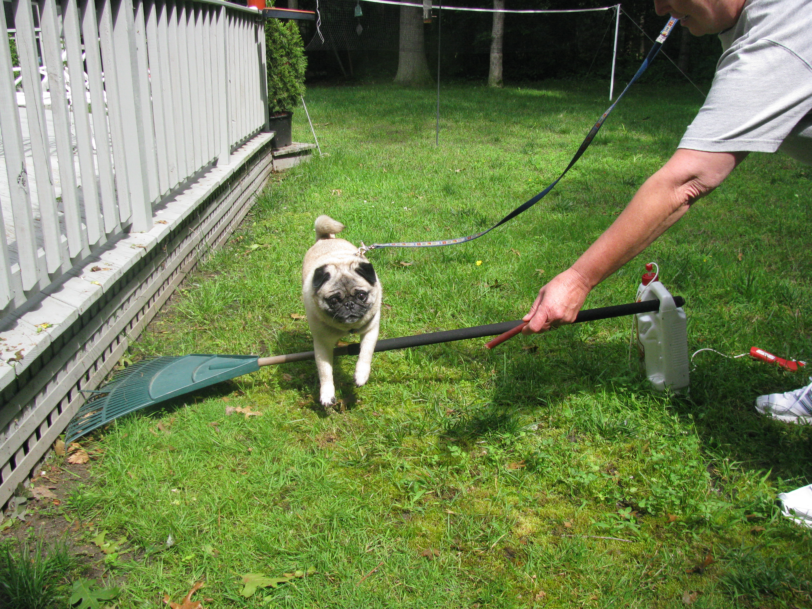 Here I am obeying the jump command for Grandma. Mom loved watching me as I cleared the poorly constructed jump course.