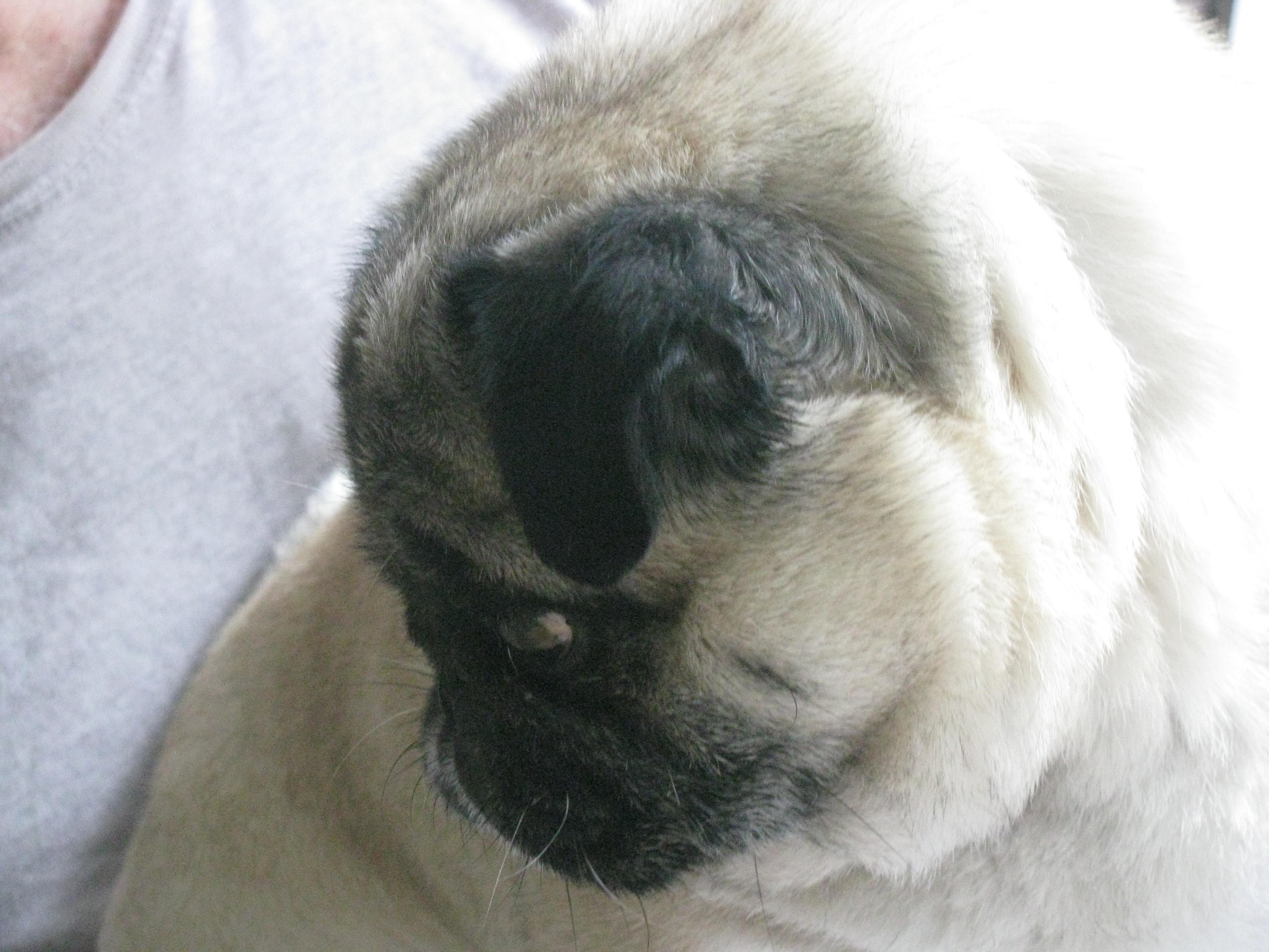 I just happen to love this shot and Grandma says I look like an angel. No hint of health issues on this pug's face!