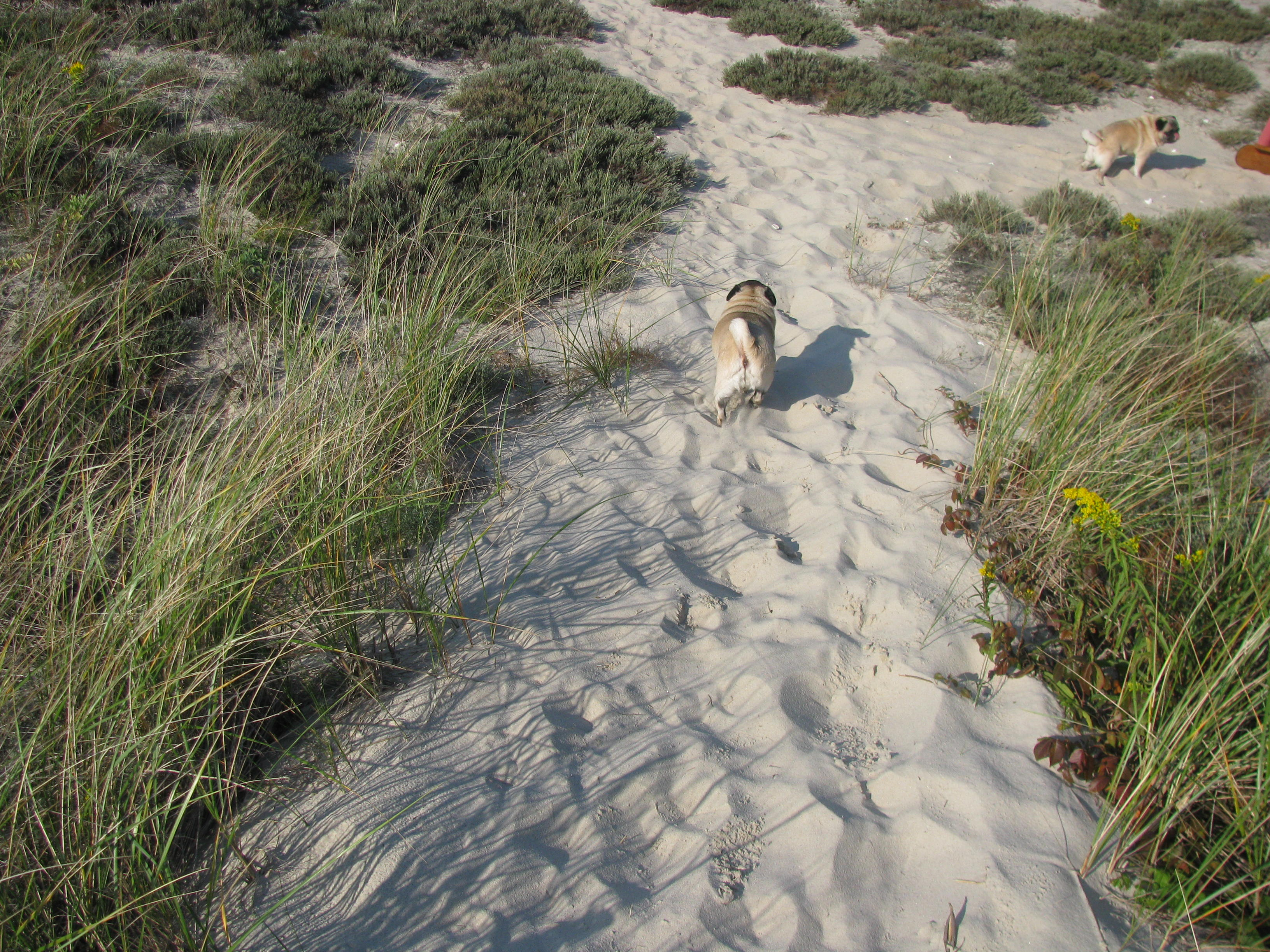 Here she is on the trail in the dunes, looking for...who else?