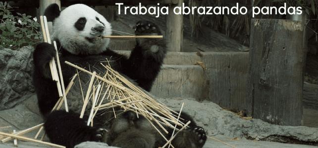 Trabaja abrazando a osos panda!