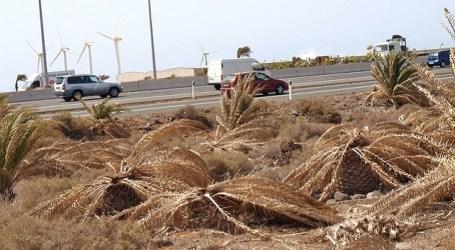 En los dos últimos años han muerto miles de palmeras en el sur de Gran Canaria