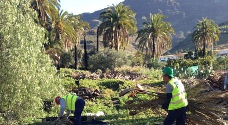El Cabildo de Gran Canaria rehabilita el palmeral de Veneguera