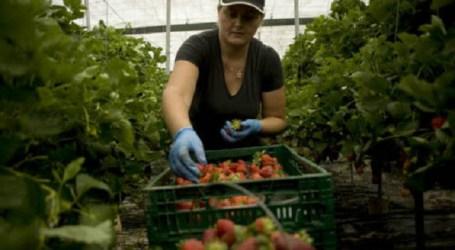 Sitca obtiene un triunfo histórico en el sector de la aparcería del tomate en Tirajana