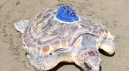 La popular tortuga Terry ya nada libre en el Atlántico tras recuperarse en Gran Canaria