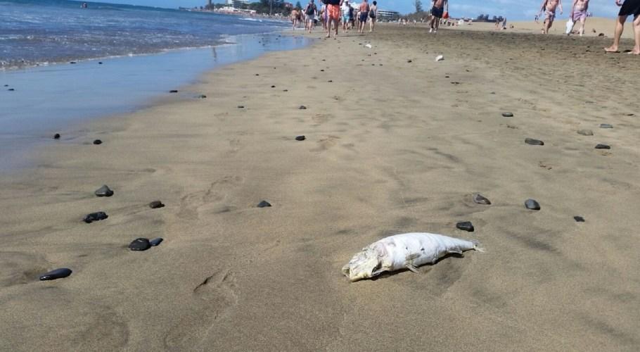 Playa de Maspalomas, peces muertos