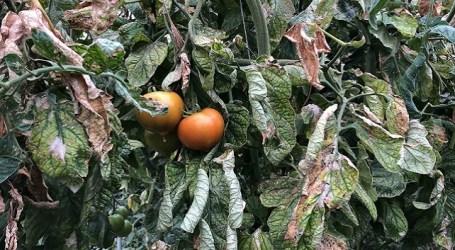 La plaga de la Tuta Absoluta pone en peligro el cultivo del tomate en Canarias