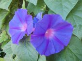 flor morning glory