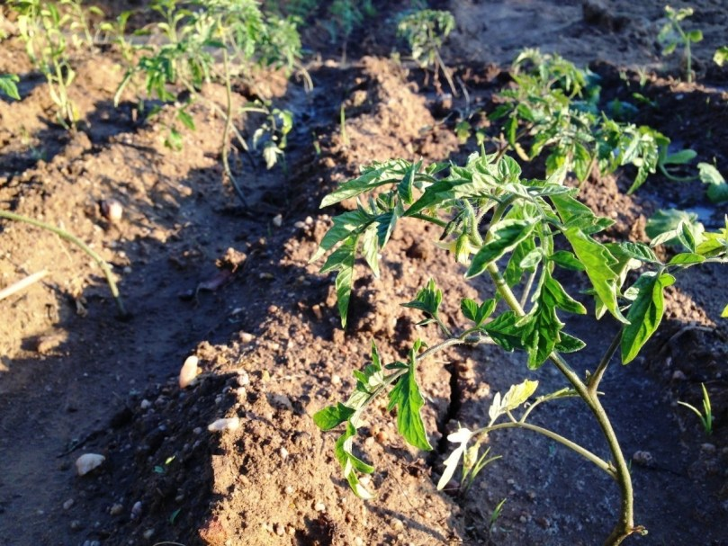A plantação
