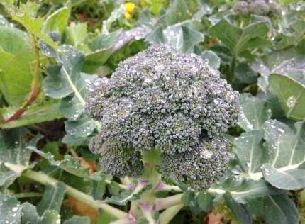 A primeira colheita de brócolos