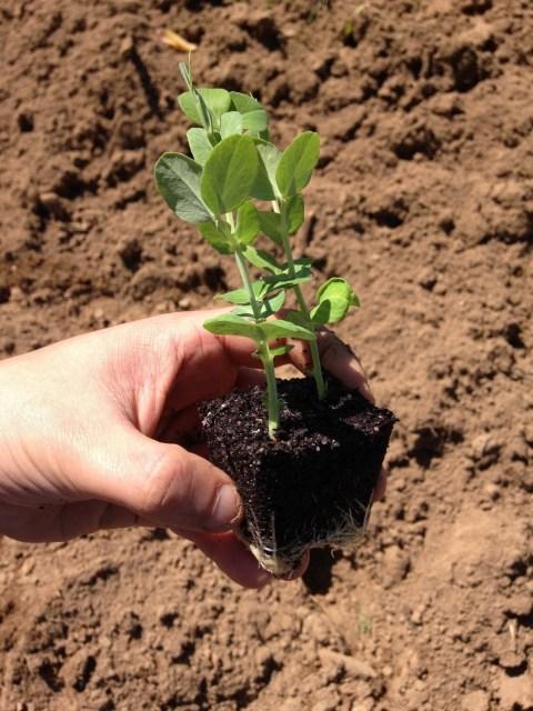Ervilhas prontas a plantar