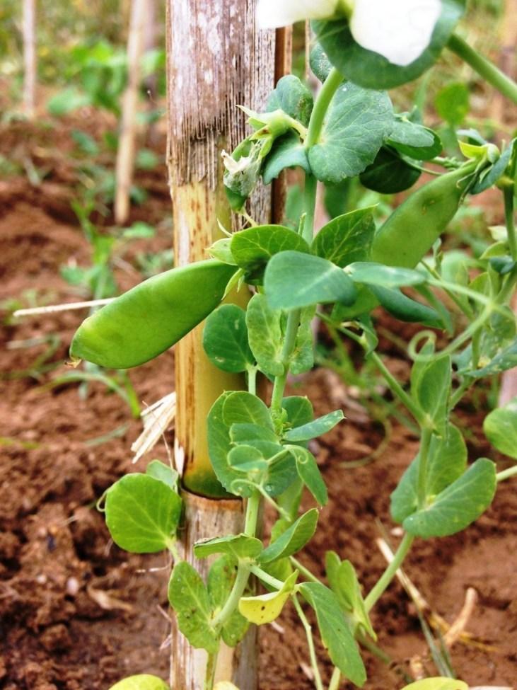 Primeiras ervilhas