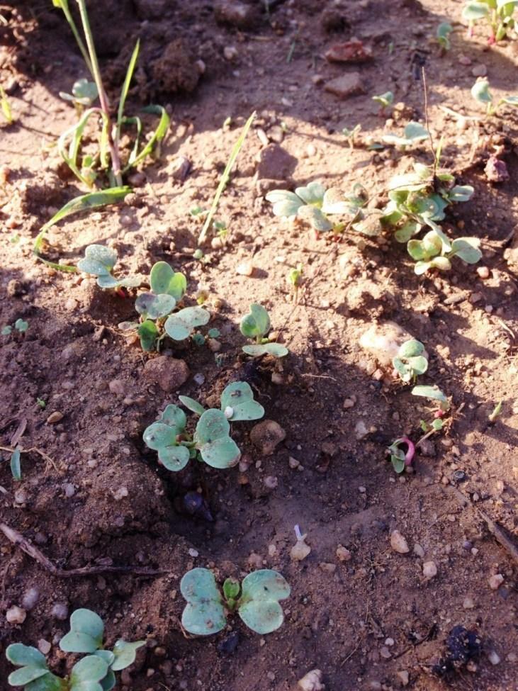 1 semana após a sementeira dos rabanetes