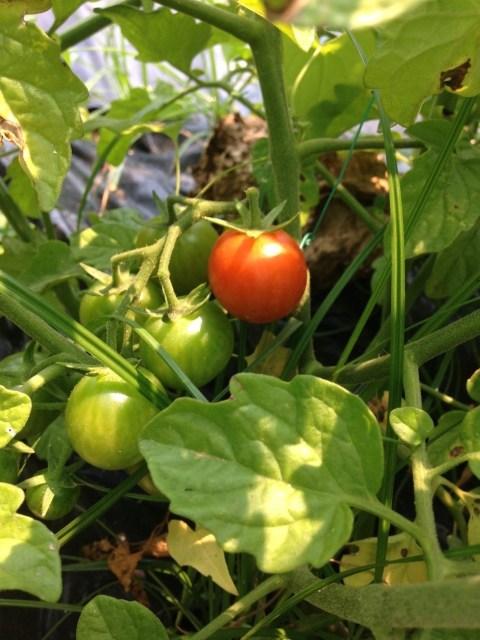 O 1º Tomate cherry maduro