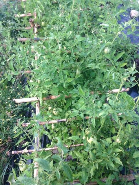 Primeira estrutura criada, tem duas variedades - Chucha e cherry