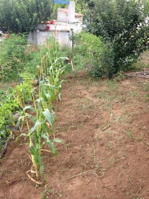 Evolução cultivo #3