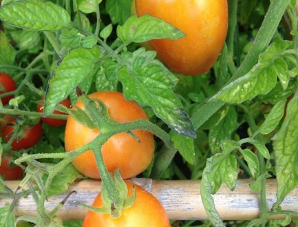 Tomates da horta – Chucha