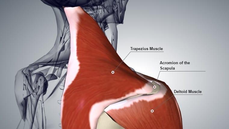 deltoid-trapzius-acromion