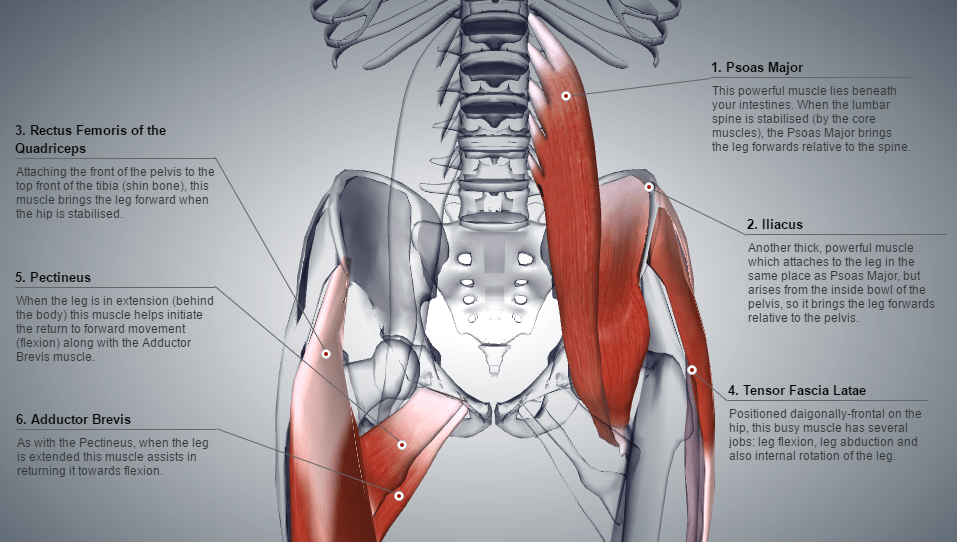 A computer generated diagram of the hip flexor group of muscles in a human body