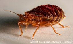 bedbug picture